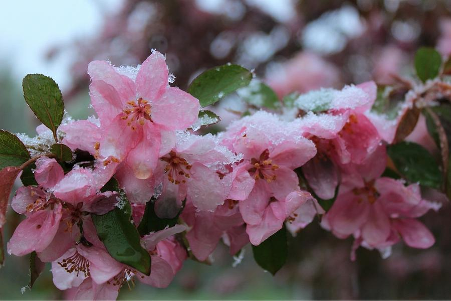 Chill Photograph - Chilled Crabapples by Elizabeth Sullivan