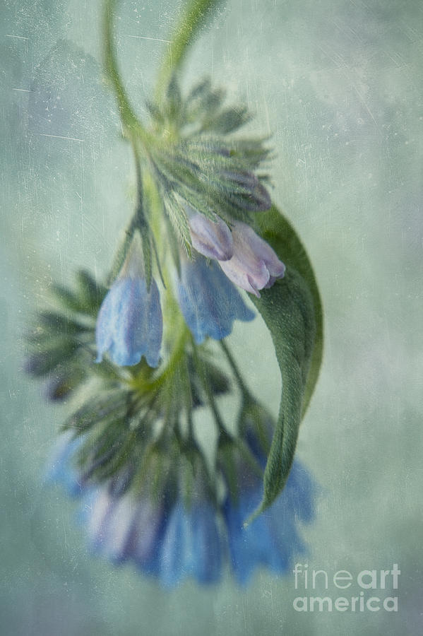 Northern Bluebell Photograph - Chiming Bells Part I by Priska Wettstein