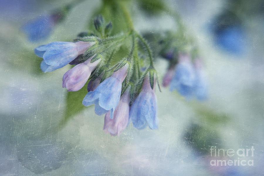 Northern Bluebell Photograph - Chiming Bells Part II by Priska Wettstein