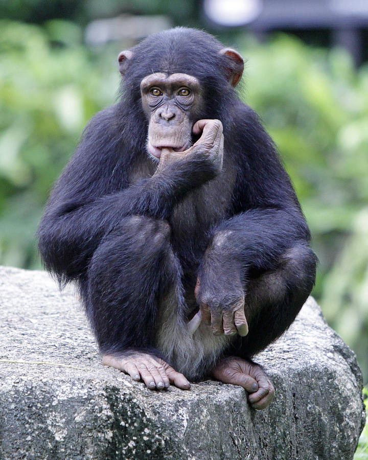 Chimpanzee Photograph - Chimp Sucking His Thumb by Shoal Hollingsworth