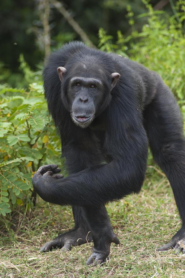 Chimpanzee Kenya Photograph by D. & E.  Parer-Cook