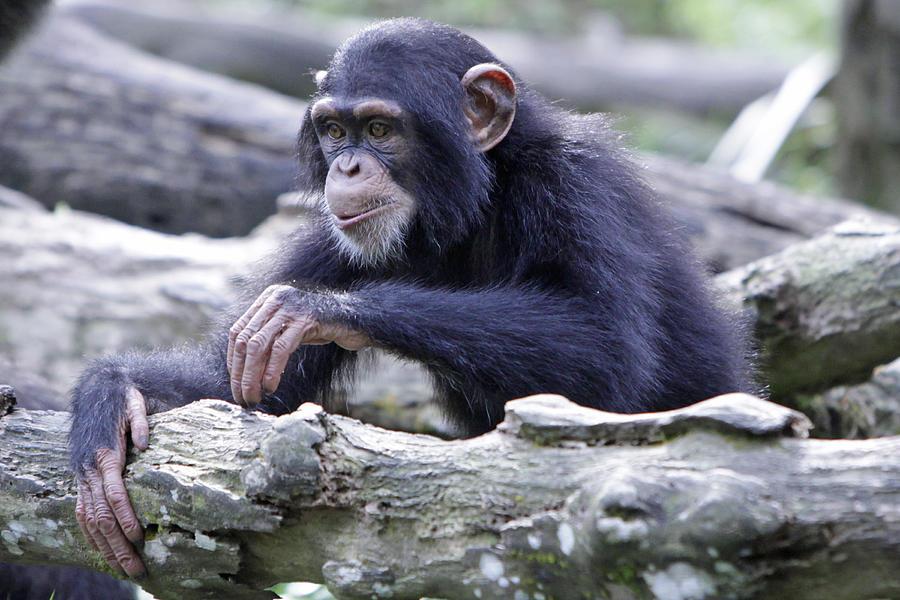Chimpanzee Photograph - Chimpanzee Playing by Shoal Hollingsworth