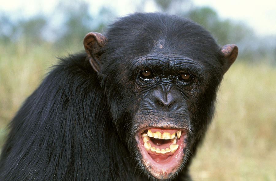 Chimpanzee Photograph - Chimpanzee Showing Teeth by Jean-Michel Labat