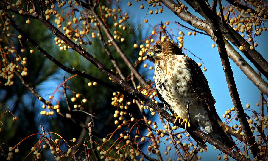 China Berry Hawk Photograph