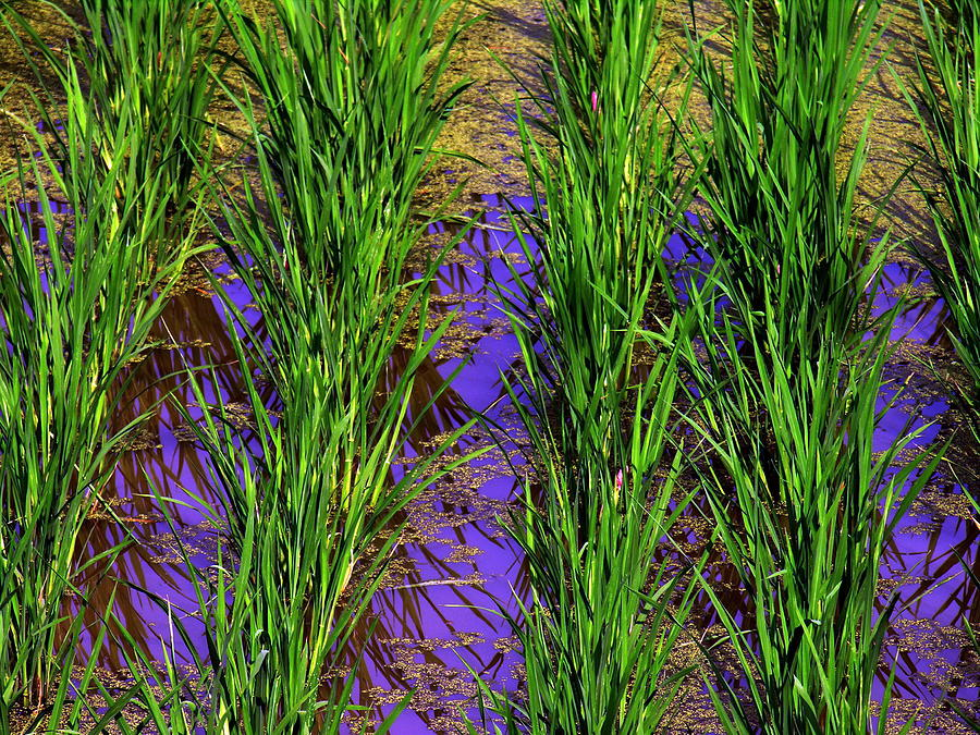 China Rice Photograph by Jacqueline M Lewis