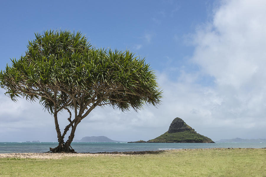 Chinamans Hat Island Tree Seascape Oahu Hawaii Hi Photograph - Chinamans Hat With Tree - Oahu Hawaii by Brian Harig