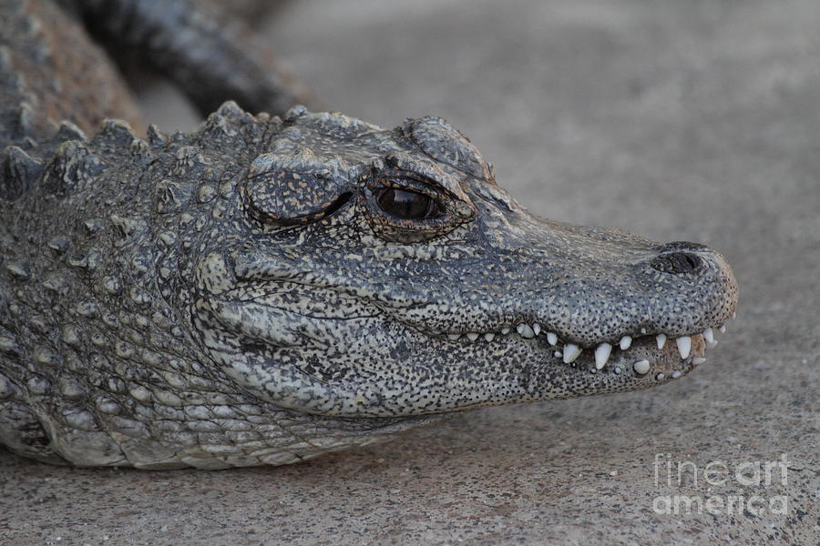Aligator Photograph - Chinese Alligator by Ruth Jolly