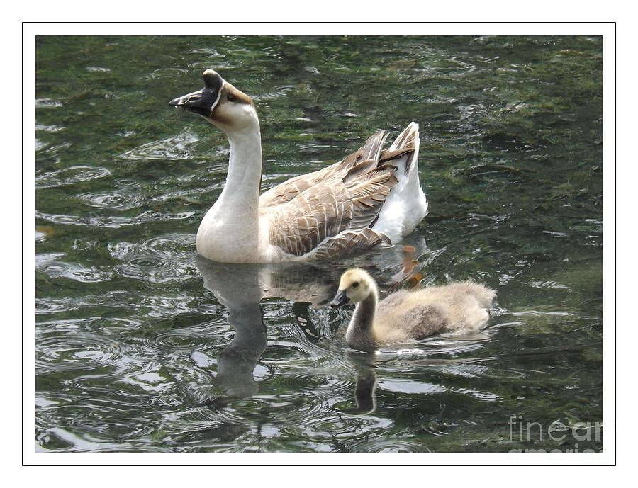 Chinese Swan Goose Photograph - Chinese Swan Goose And Gosling by Sara  Raber