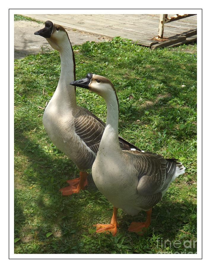 Chinese Swan Goose Photograph - Chinese Swan Goose Pair 2 by Sara  Raber
