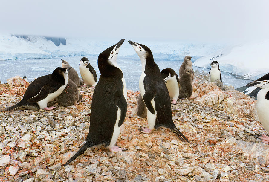 Chinstrap Penguin Colony at Spigot Point Photograph by Yva Momatiuk John Eastcott