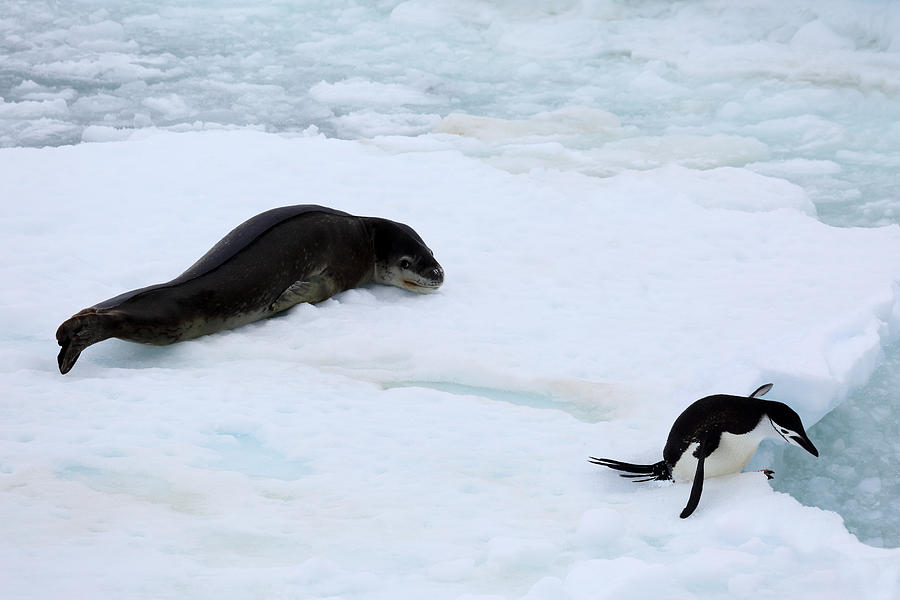 Chinstrap penguin escaping from leopard seal Photograph by Rosemary Calvert