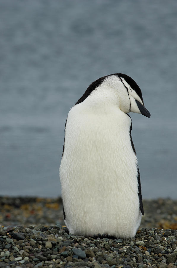 Animals In The Wild Photograph - Chinstrap Penguin by Peter McBride
