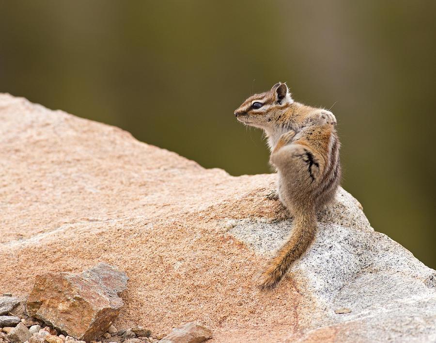 Chipmunk Photograph - Chipmunk by Brian Magnier