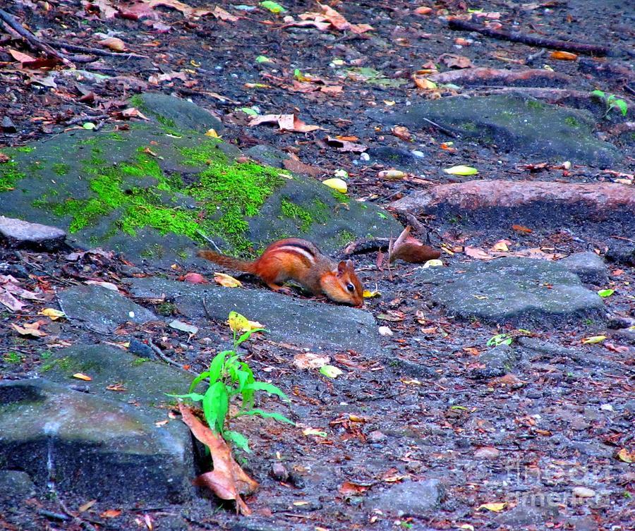 Gorge Metro Park Photograph - Chipmunk Scrounging Amoung The Rocks by Matthew Peek