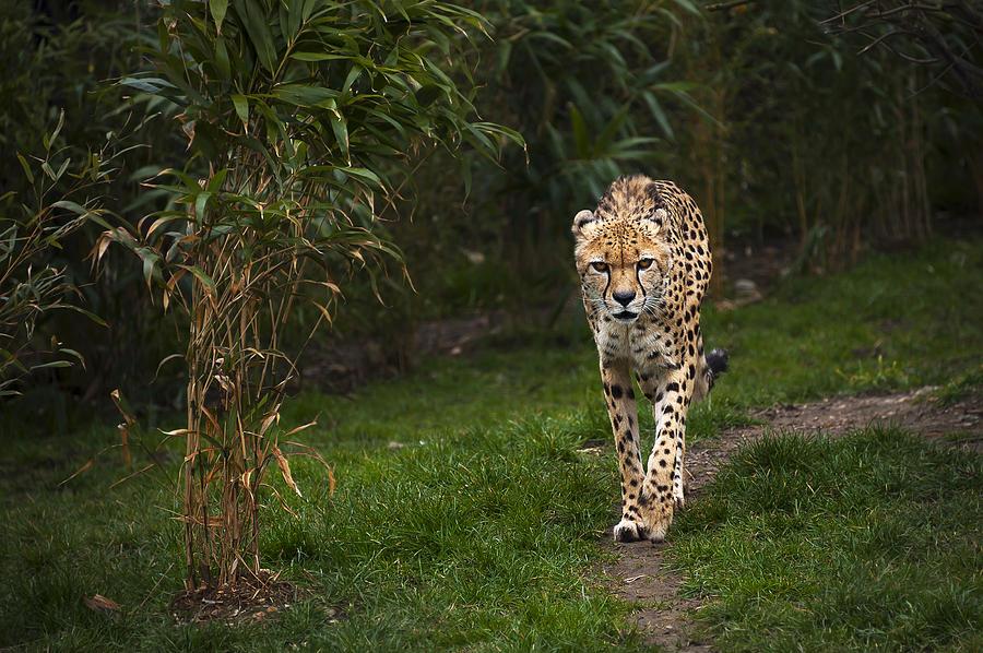Animal Photograph - Chita by Svetlana Sewell