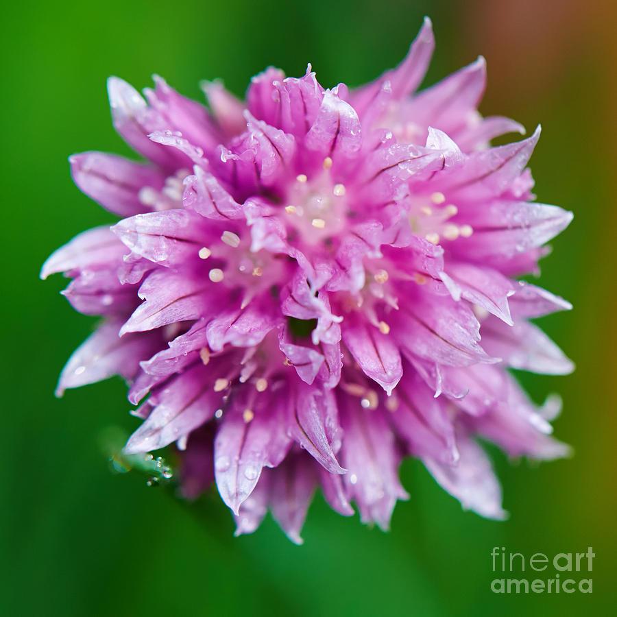 Closeup Photograph - Chive Flower by Nick  Biemans