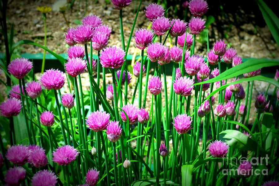 Chives Photograph - Chives by Christy Beal