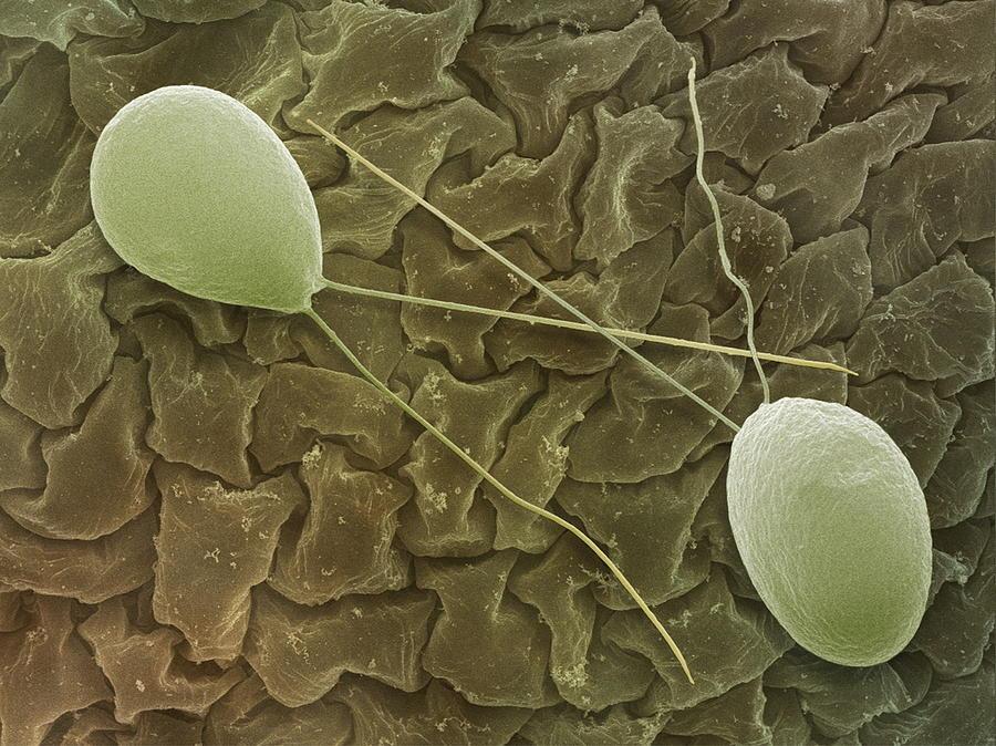 Cell Photograph - Chlamydomonas Sp. Algae, Sem by Power And Syred