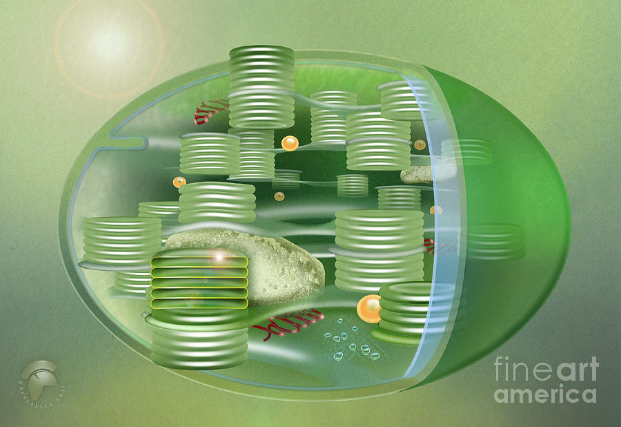 Chloroplast - Basis Of Life - Plant Cell Biology - Chloroplasts ...