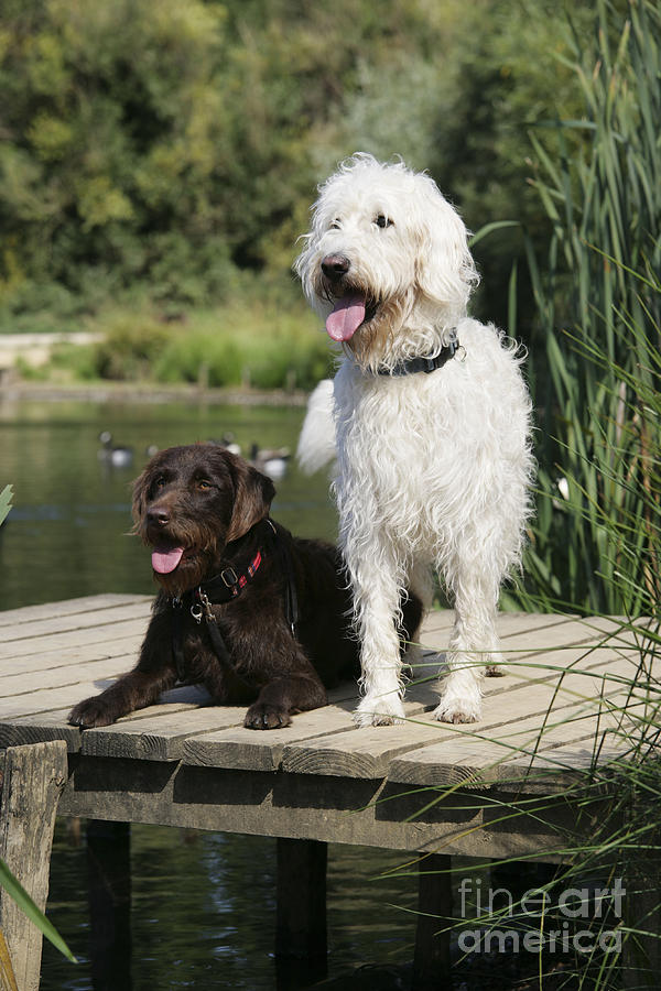 Labradoodle Photograph - Chocolate And Cream Labradoodles by John Daniels