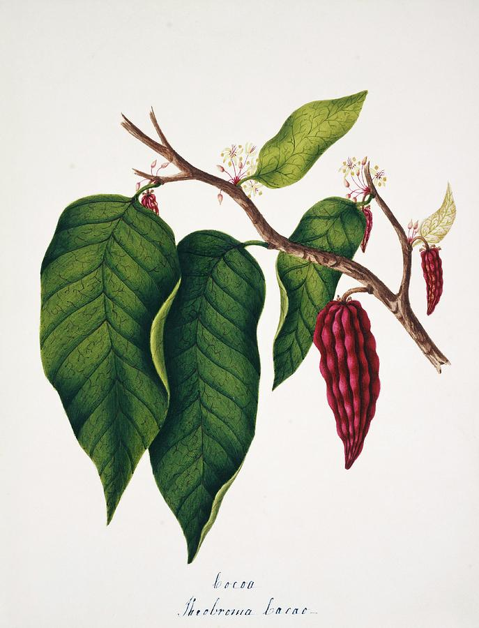 Plant Photograph - Chocolate Cocoa Plant by Natural History Museum, London/science Photo Library