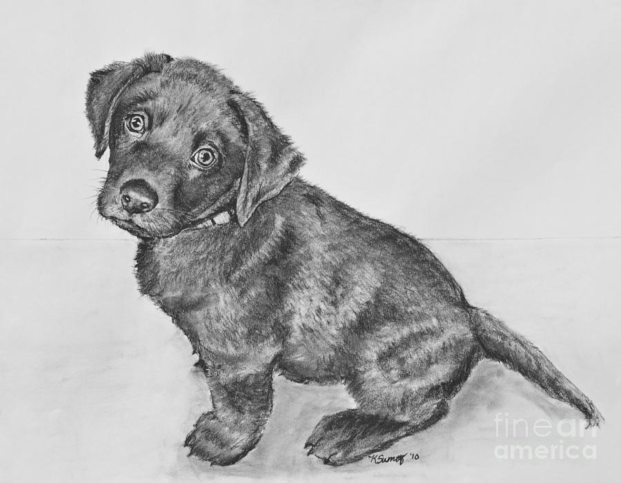 Chocolate Lab Puppy Artwork Drawing by Kate Sumners