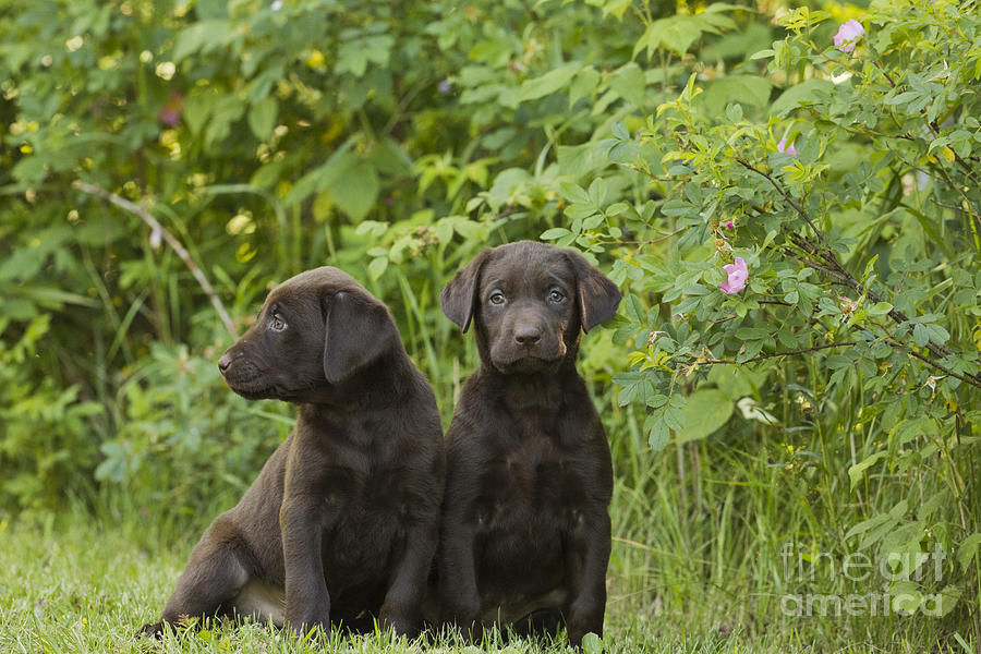 Nature Photograph - Chocolate Labrador Retriever Puppies by Linda Freshwaters Arndt