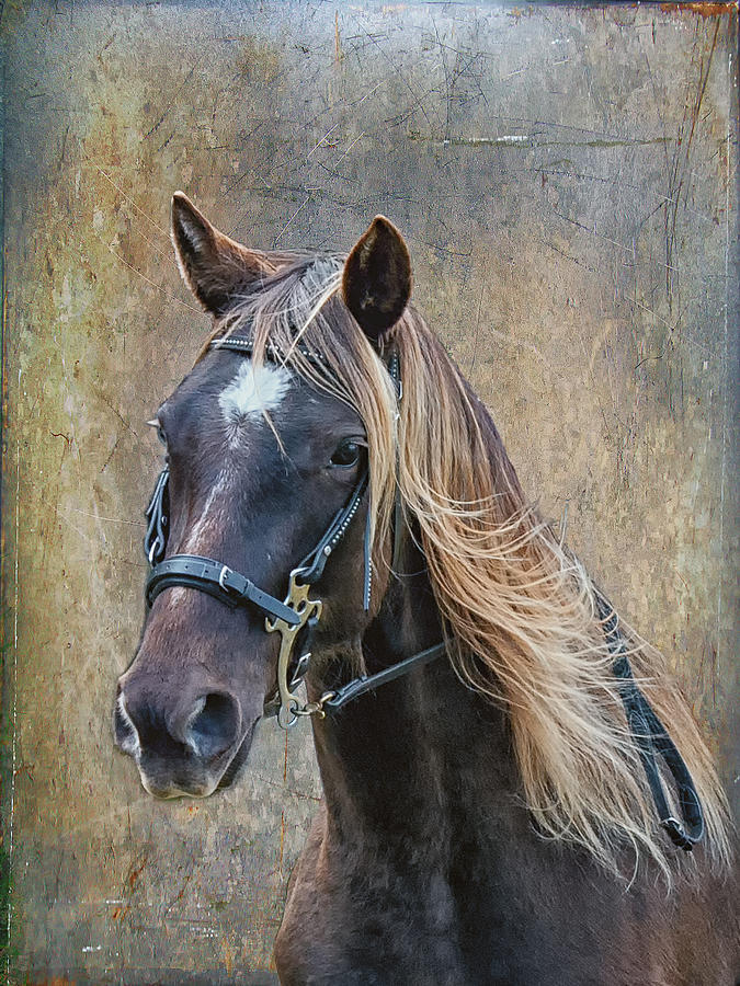 Chocolate Rocky Mountain Horse Photograph by Peter Lindsay