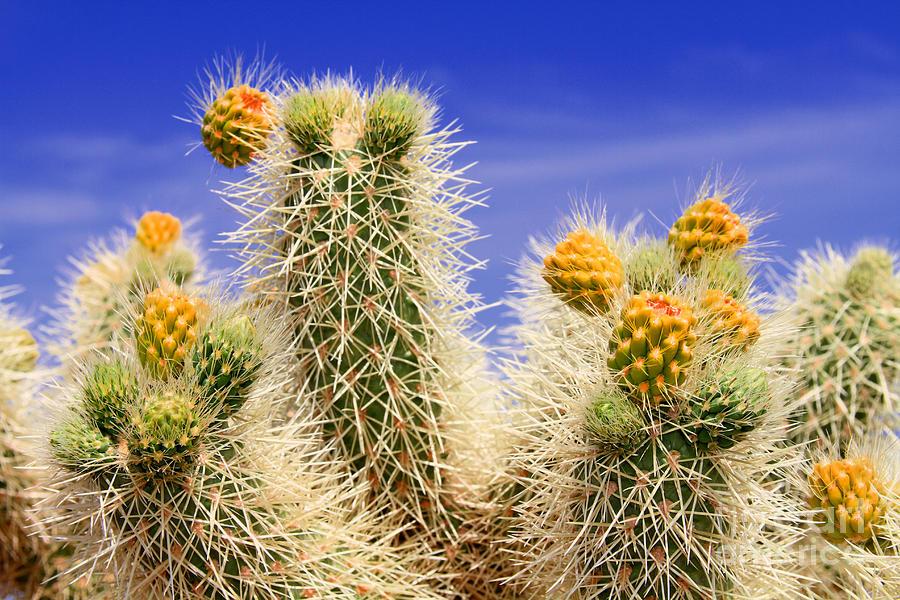 Cholla Cactus in Joshua Tree by Diana Sainz by Diana Raquel Sainz