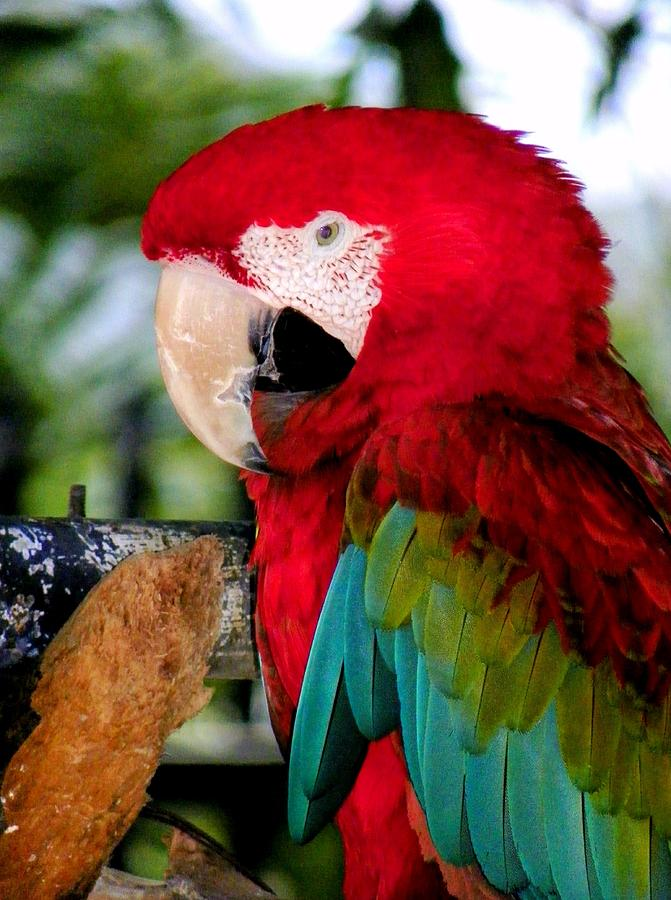 Parrot Photograph - Chowtime by Karen Wiles