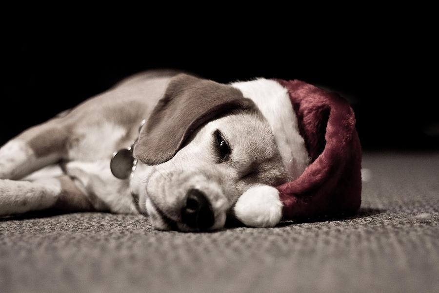 Dog Photograph - Christmas Beagle by Paulina Szajek