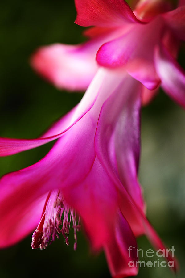 Christmas Cactus Photograph - Christmas Cactus In Bloom by Thomas R Fletcher