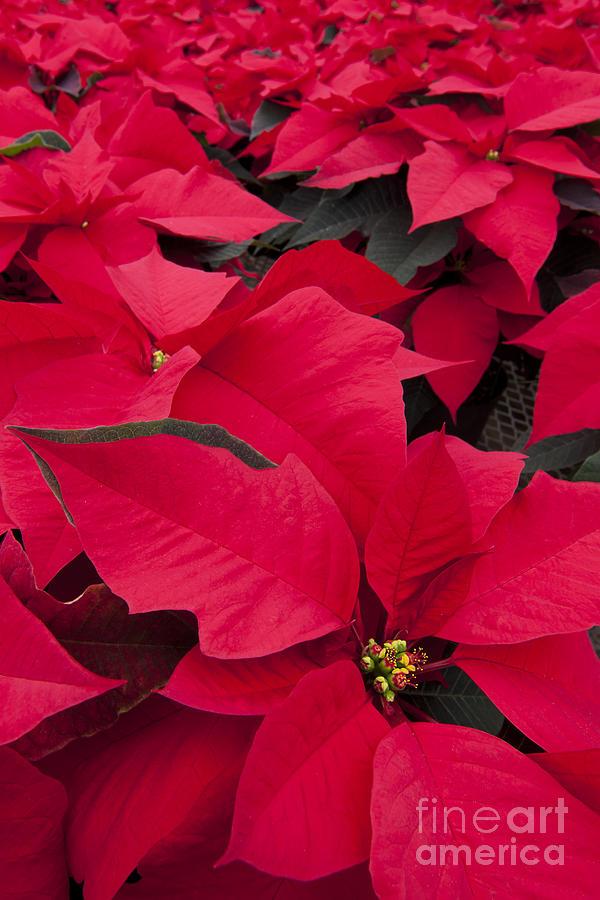 Christmas Flowers by Patty Colabuono