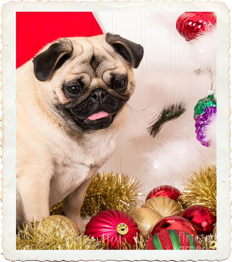 Pug Photograph - Christmas Morning by Edward Fielding