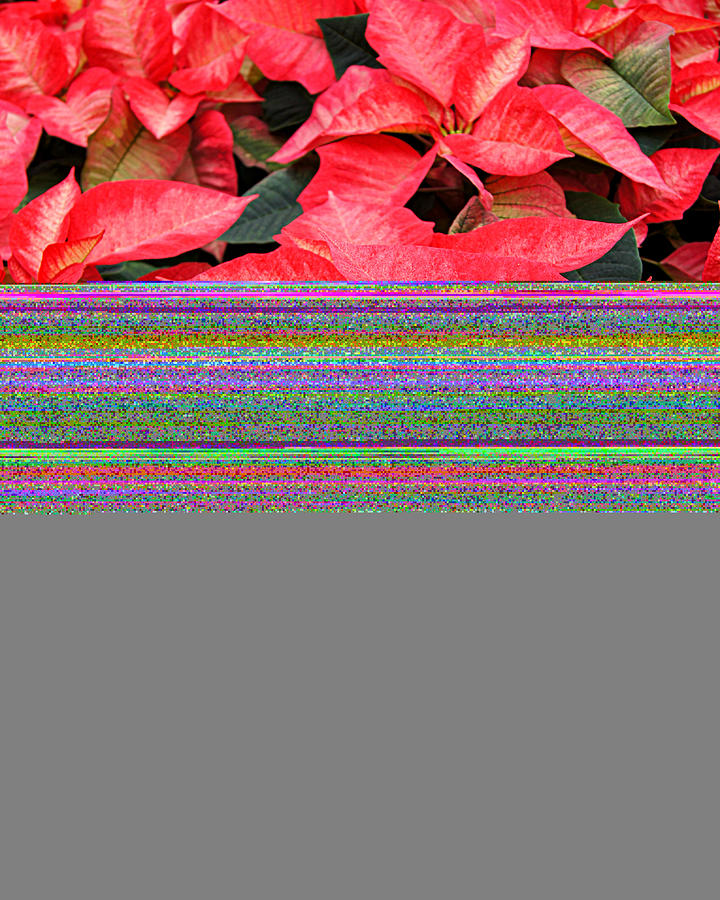 Flowers Photograph - Christmas Poinsettias by Carol Toepke