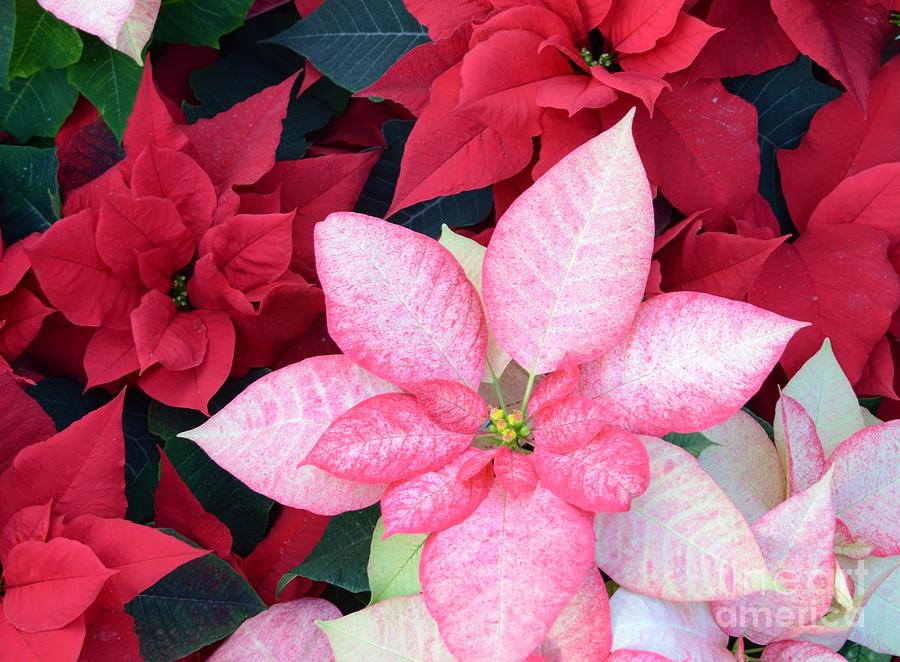 Flower Photograph - Christmas Pointsettia by Kathleen Struckle