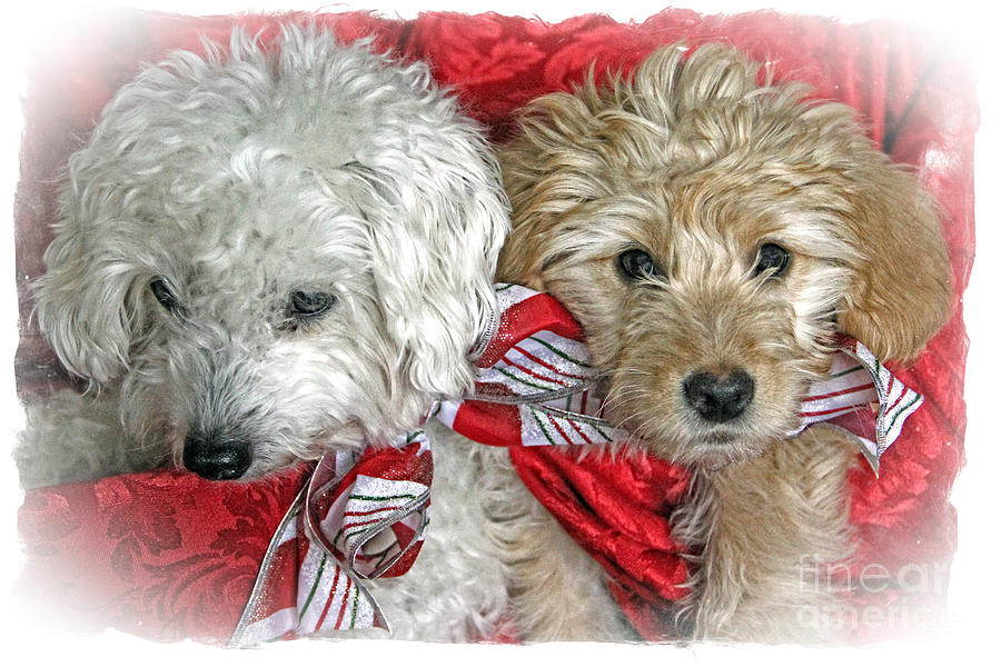 Christmas Photograph - Christmas Puppy by Bob Hislop