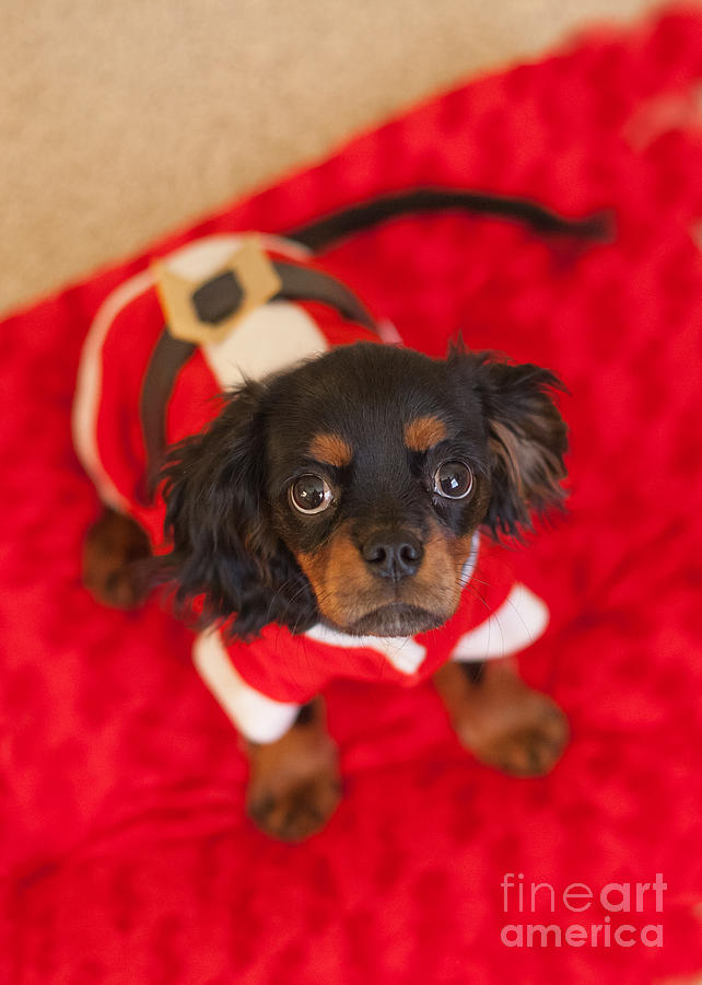 Christmas Photograph - Christmas Puppy by Kay Pickens