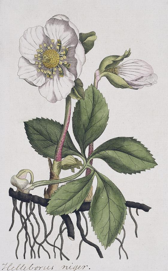 Christmas Rose Photograph - Christmas Rose, Historical Artwork by Science Photo Library