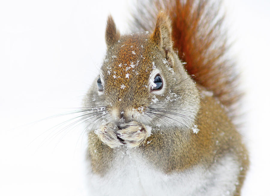 Nature Photograph - Christmas Squirrel by Mircea Costina