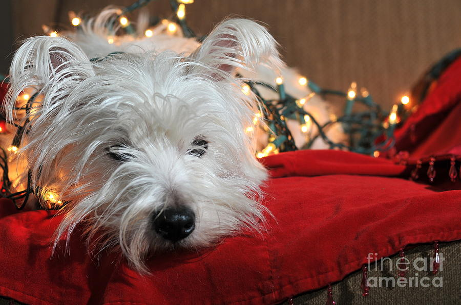 West Highland Terrier Photograph - Christmas Westie by Catherine Reusch Daley