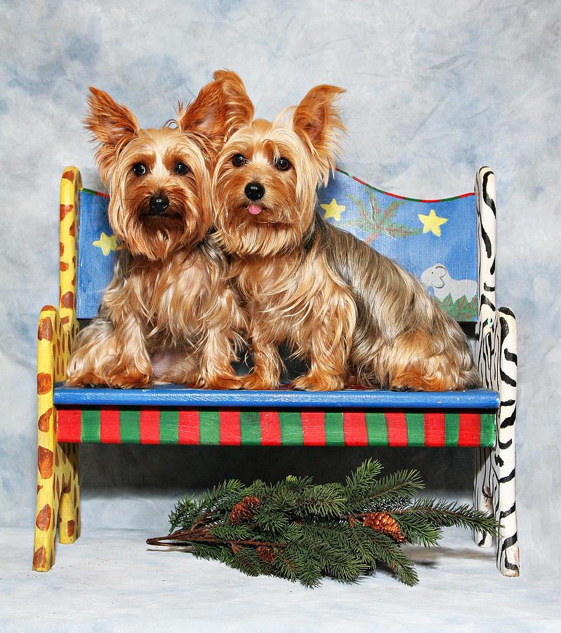 Christmas Yorkie Twins Photograph by John Rockwood