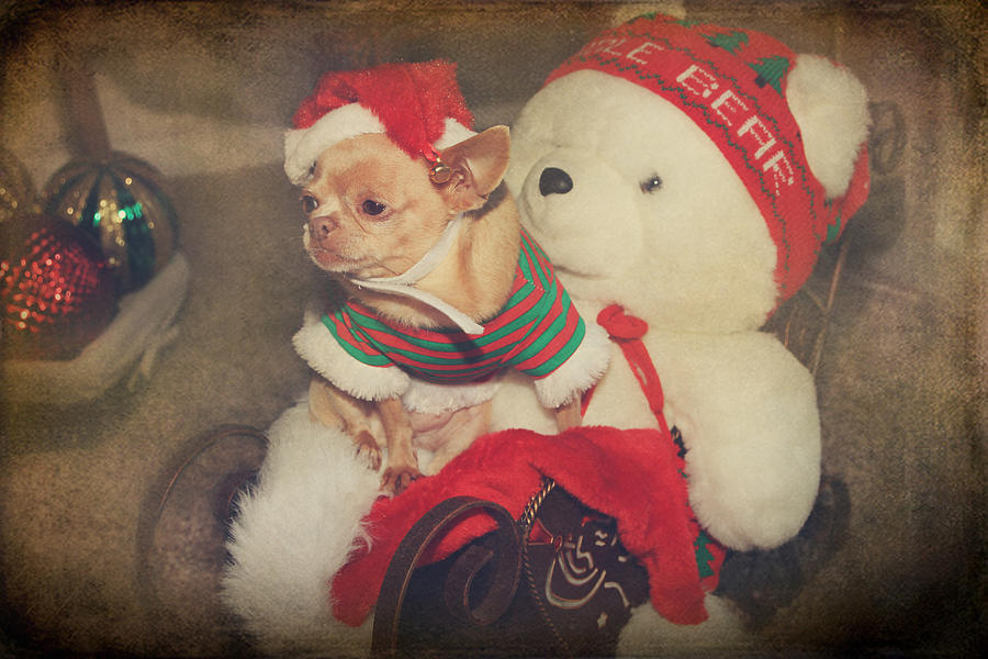 Dog Photograph - Christmas Zoe by Laurie Search