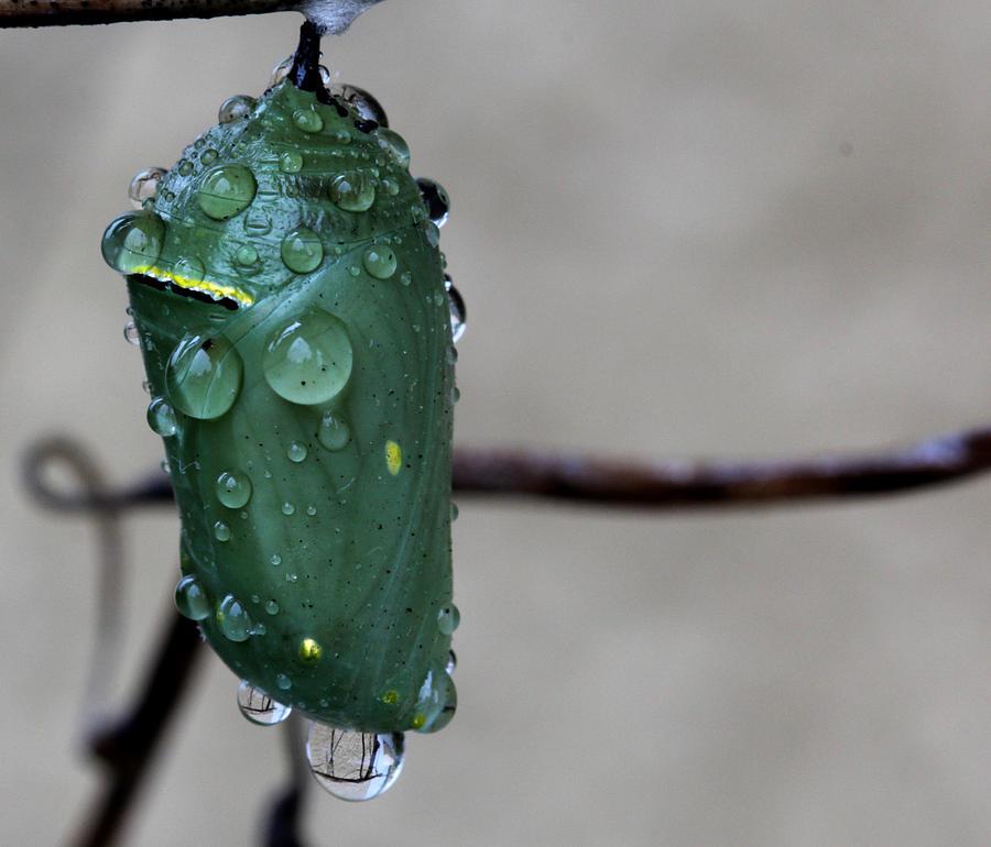 Monarch Photograph - Chrysalis by April Wietrecki Green