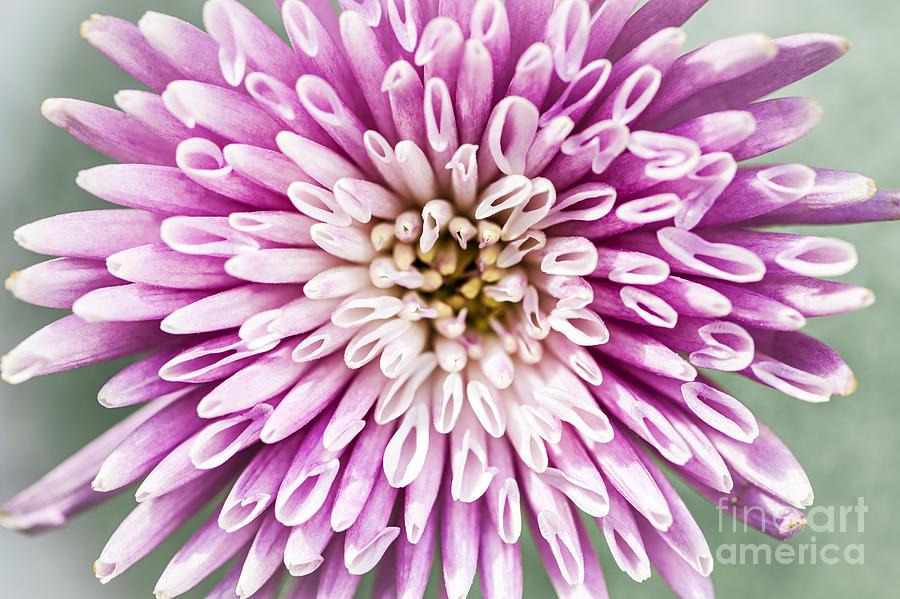 Chrysanthemum Photograph - Chrysanthemum Flower Closeup by Elena Elisseeva