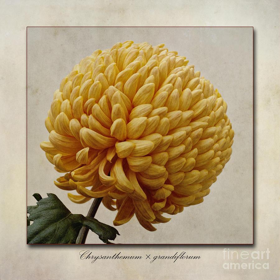 Chrysanthemum Grandiflorum Photograph - Chrysanthemum Grandiflorum Yellow by John Edwards