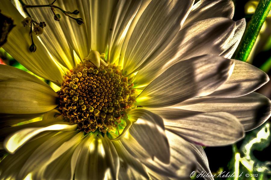 Mum Photograph - Chrysanthemum by Helene Kobelnyk