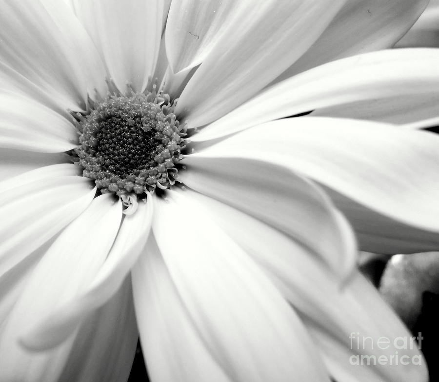 Nature Photograph - Chrysanthemum In Black And White by Ioanna Papanikolaou