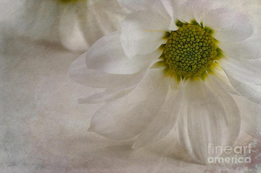 Chrysanthemum Morifolium Photograph - Chrysanthemum Textures by John Edwards