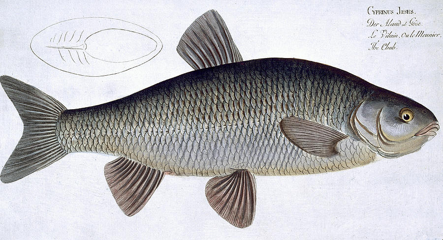 Fish Painting - Chub by Andreas Ludwig Kruger